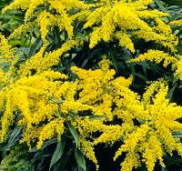 Цветы золотарника