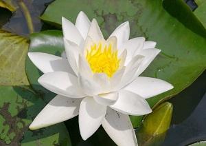 Цветок кувшинки белой