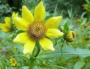 Цветы череды