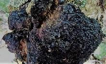 Черный березовый гриб чага. Фото