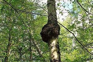 Черный березовый гриб чага
